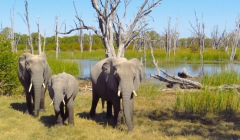 Elefanten im Okavango Delta, Botswana