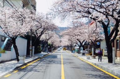 Kirschblüte Tongyeong, Südkorea